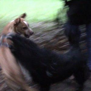 agresividad entre machos educacion canina san sebastian