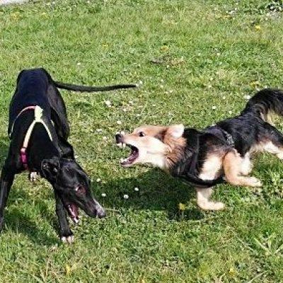 perro reactivo ladra otro perro educacion canina ana masoliver
