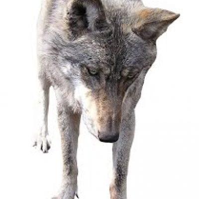 foto lobo dominante educacion canina ana masoliver