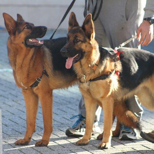 manejo correa problemas de convivencia ana masoliver educacion canina servicios pastores alemanes